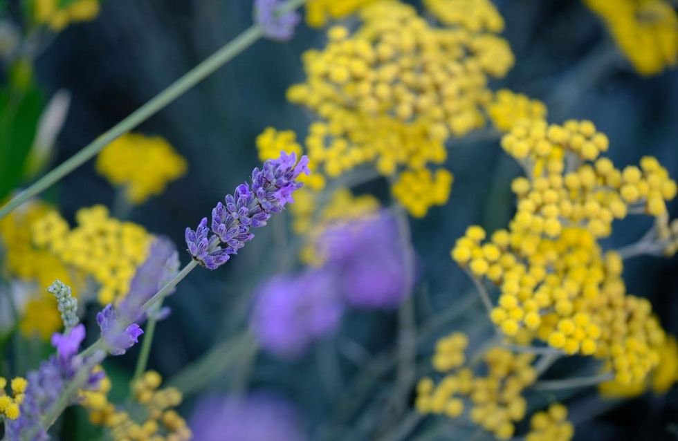 Lavender and helichrysum at the entrance of DamaBlu